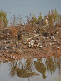 Sandpiper couple. Couple of sandpiper searched food in the marsh Stock Photo