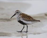 Sandpiper del Dunlin che propone sulla sabbia Fotografia Stock