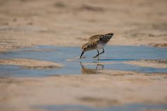 Sandpiper digging in soft sand of mexican pink lagoon. Pink lagoon in Yucatan peninsula of mexico, Sandpiper bird in Las Coloradas in Mexico, reflection of sea stock image