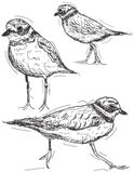 Sandpiper drawings Royalty Free Stock Images