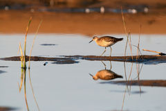Sandpiper in dreams and reality Stock Image