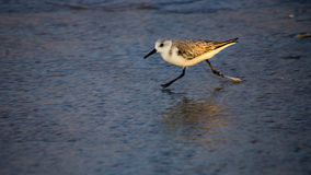Sandpiper on a Beach Royalty Free Stock Photo