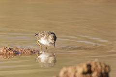 Sandpiper Feeding in Pond Stock Photos