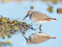 Sandpiper Feeding at the Shore Royalty Free Stock Photography
