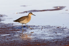 Sandpiper feeds alonge the shoreline Royalty Free Stock Photo