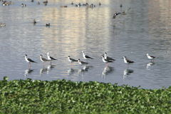 Sandpiper flock Stock Image