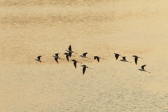 Sandpiper flocks flying Royalty Free Stock Photo