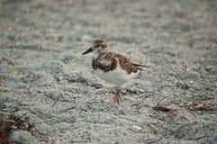 Sandpiper on a Florida Beach Stock Photography