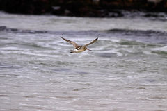 Sandpiper flying Royalty Free Stock Images