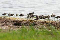 Sandpiper Gathering Royalty Free Stock Photography