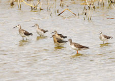 Sandpiper group of bastards Royalty Free Stock Photography
