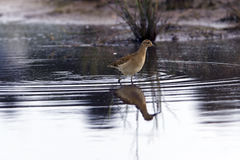 Sandpiper in habitat Stock Images