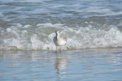 A sandpiper heads for the sandy shore with a wave close behind stock images