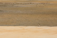 Sandpiper hunting for food on a golden sand beach. Stock Photography