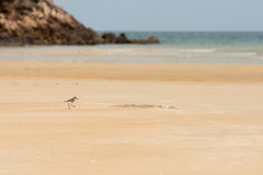 Sandpiper hunting for food on a golden sand beach. Sandpiper bird hunting for food on a golden sand beach on a sunny day with the sea in the background Stock Images