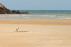 Sandpiper hunting for food on a golden sand beach. Sandpiper bird hunting for food on a golden sand beach on a sunny day with the sea in the background Stock Photography
