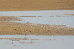 Sandpiper hunting for food on a golden sand beach. Royalty Free Stock Images