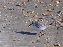 Sandpiper Stock Photos