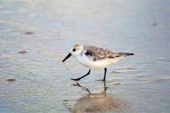 Sandpiper jest odważnym małym ptakiem który dominuje morską linię brzegową obrazy royalty free