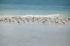 Sandpiper kierdel przy zimy sjesty klucza plażą w Floryda zdjęcia royalty free