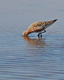 Sandpiper in the lake. Sandpiper searched worms in the lake Stock Images