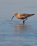 Sandpiper in the lake. Sandpiper searched worms in the lake Stock Photos