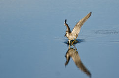 Sandpiper Landing While Carrying a Fish Stock Image