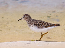 Sandpiper. Least Sandpiper (Calidris minutilla) foraging for food Stock Photography