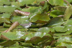 Sandpiper on lilypads. Royalty Free Stock Photos
