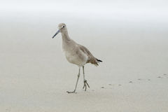 Sandpiper on long trek leaving footsteps behind Royalty Free Stock Photography