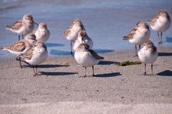 Sandpiper occidentale pacifico (Calidris Mauri) Immagini Stock Libere da Diritti