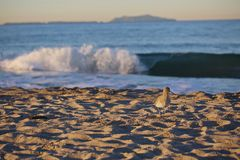 Sandpiper Ocean Royalty Free Stock Photography