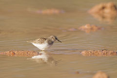 Sandpiper in Pond Royalty Free Stock Photo