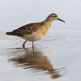 Sandpiper portrait Royalty Free Stock Images