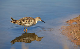 Sandpiper profile Royalty Free Stock Photos