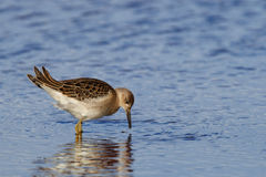 Sandpiper in profile Stock Photo