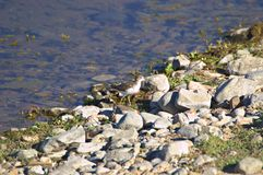 Sandpiper. A profile view of a Least Sandpiper standing on a pile of washed up aquatic plantlife Stock Images