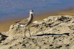 Sandpiper ptak obraz royalty free