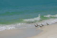 Sandpiper ptaki na piaskowatej plaży Obraz Royalty Free