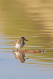 Sandpiper Reflected Stock Photography