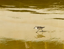 Sandpiper with reflection on wet sand. A sandpiper running with reflection on the wet sand in the late afternoon Stock Photos