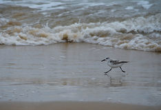 Sandpiper Running. On the beach in Matagorda, Texas royalty free stock photos