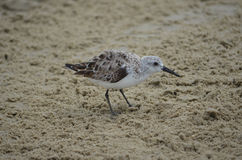 Sandpiper in the Sand. Sandpiper on the sand in Matagorda, Texas Stock Image