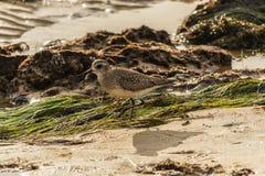 Sandpiper Sanderling on the California beach. Stock Photos