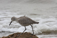 Sandpiper. Scanning the beach of Galveston Texas searching for food Stock Photography