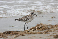 Sandpiper. Scanning the beach of Galveston Texas searching for food Royalty Free Stock Photography