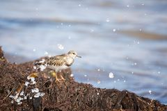 Sandpiper and sea s pray Royalty Free Stock Photo