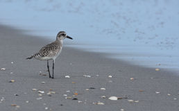 Sandpiper seabird along the coast at sunrise Stock Photos