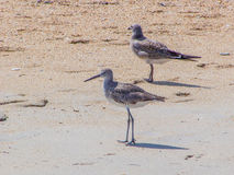 Sandpiper and Seagull Searching Beach for Food Stock Images