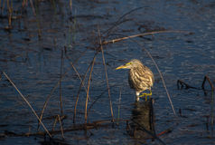 Sandpiper in search for food Royalty Free Stock Images